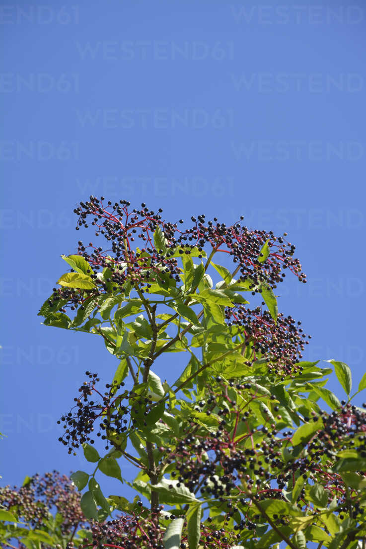 Crown of a elder bush (sambucus cerulea) with elderberries in front of blue sky - AXF000572 - Axel Ganguin/Westend61