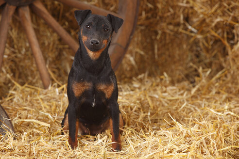 German Hunting Terrier sitting at hay - HTF000240