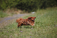 Cavalier King Charles spaniel running in a meadow - HTF000250