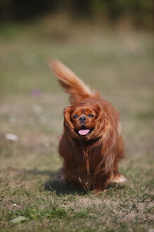 Cavalier King Charles spaniel running in a meadow - HTF000252