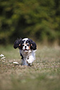 Cavalier King Charles spaniel running in a meadow - HTF000256