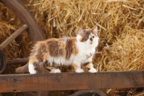 British Longhair, kitten, balancing on a wooden slat in a barn - HTF000259