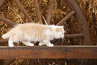 British Longhair, kitten, balancing on a wooden slat in a barn - HTF000229