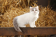 British Longhair, kitten, sitting on a wooden slat in a barn - HTF000226