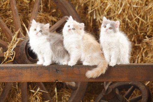 Three British Longhairs, kittens, sitting on a wooden slat in a barn - HTF000224