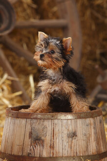 Yorkshire Terrier, puppy, sitting on a tub - HTF000264