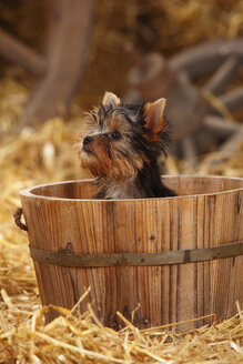 Yorkshire Terrier, puppy, sitting in a tub - HTF000266