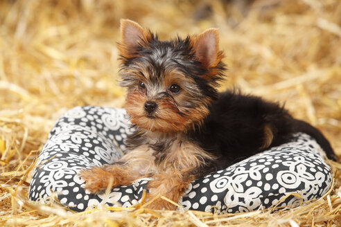 Yorkshire Terrier, puppy, lying on a cushion at hay - HTF000268