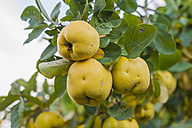 Quinces (Cydonia oblonga) at tree, close-up - MJ000427