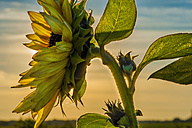 Sunflower at sunset - MJF000411