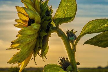 Sunflower at sunset - MJF000411