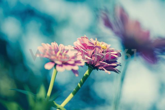 Three blossoms of common zinnia (Asteroideae) - MJ000408 - Jana Mänz/Westend61