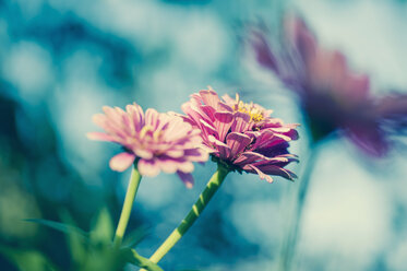 Three blossoms of common zinnia (Asteroideae) - MJ000408