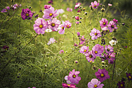 Blossoms of Mexican aster (Cosmos bipinnatus) - MJ000406