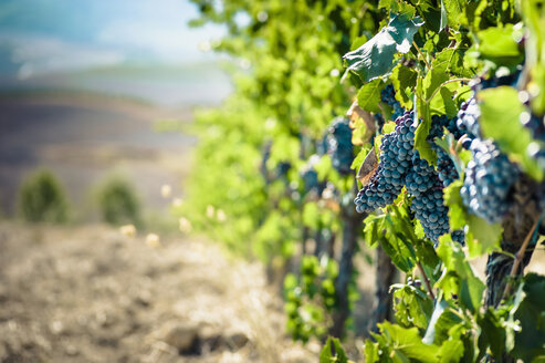 Italy, Tuscany, San Quirico d'Orcia, blue grapes at grapevine - MJF000401