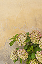 Italy, Tuscany, San Quirico d'Orcia, hydrangeas in front of facade - MJF000436
