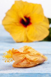 Blossom of Chinese hibiscus (Hibiscus rosa-sinensis) - CSF020382