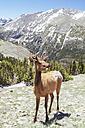 USA, Colorada, elk at Rocky Mountain National Park - MBEF000913