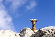 Spain, Cantabria, Picos de Europa National Park, Goat in the mountains - LAF000325