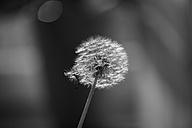 Germany, Wuerzburg, Common Dandelion - GSF000561