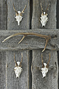 Antlers hanging on grey wooden wall - AS005243