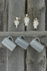 Three antlers and three beer mugs hanging on grey wooden wall - AS005244