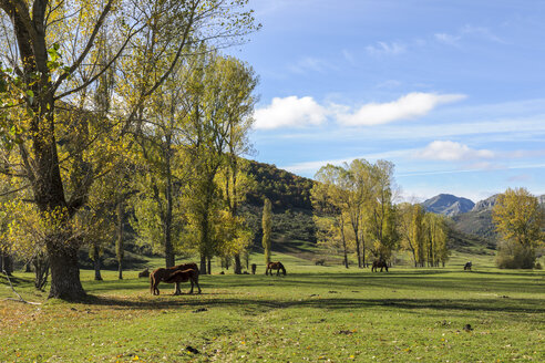 Spain, Asturia, Picos de Europa National Park, Ruta del Cares, Horses on meadow - LA000290