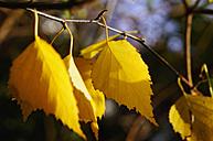 Germany, North Rhine-Westphalia, Minden, birch leaves - HOHF000263