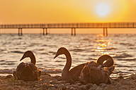 Switzerland, Thurgau, Altnau, Swans in front of jetty at Lake Constance - SH001182