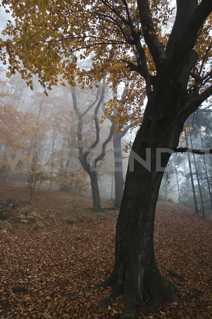 Germany, Rhineland-Palatinate, Eifel, woodland at late autumn - PAF000087
