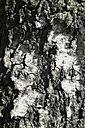 Germany, Baden-Wuerttemberg, detail of a downy birch, birch bark - ELF000683