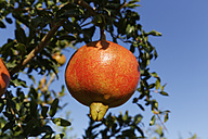 Turkey, Province Mugla, Dalyan, Pomegranate on tree - SIEF004825