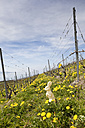 Switzerland, Lac Leman, Easter Bunny in the vineyards of Lavaux - MSF003150