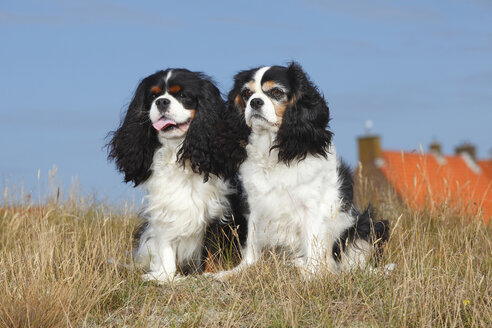 Netherlands, Texel, two Cavalier King Charles Spaniels sitting side by side on a dune - HTF000270