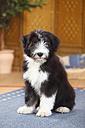 Bearded Collie, puppy, sitting on carpet - HTF000298