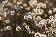 Germany, North Rhine-Westphalia, Recker Moor, Cotton grass - PAF000111