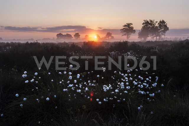 Germany, North Rhine-Westphalia, Recker Moor, Landscape with cotton grass at sunrise - PAF000152 - Andreas Pacek/Westend61