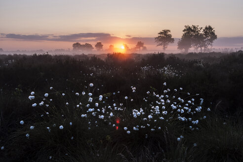 Germany, North Rhine-Westphalia, Recker Moor, Landscape with cotton grass at sunrise - PAF000152