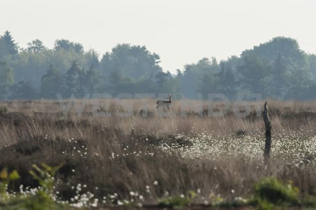 Germany, North Rhine-Westphalia, Recker Moor, Landscape with roe deer - PAF000107 - Andreas Pacek/Westend61