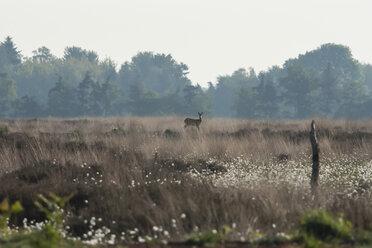 Germany, North Rhine-Westphalia, Recker Moor, Landscape with roe deer - PAF000107