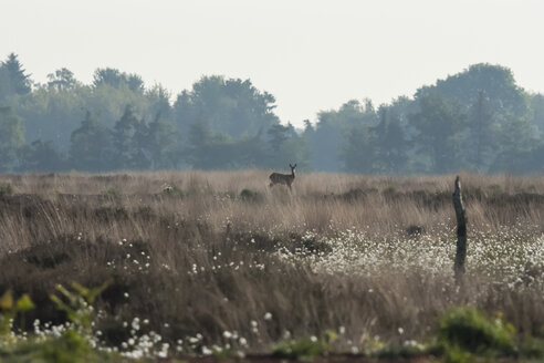Germany, North Rhine-Westphalia, Recker Moor, Landscape with roe deer - PAF000107