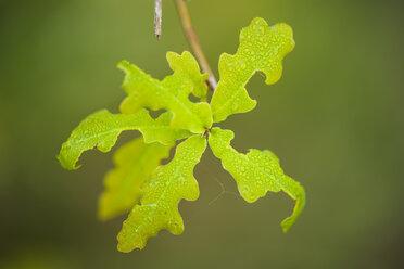 Germany, North Rhine-Westphalia, Recker Moor, Green leaf - PAF000092