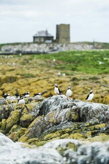 Great Britain, England, Northumberland, Farne Islands, Puffins - PAF000113