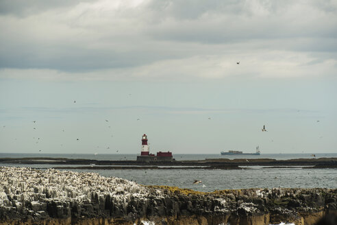 Great Britain, England, Northumberland, Farne Islands, puffins and common murres - PA000118