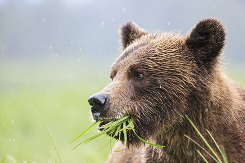 Canada, Khutzeymateen Grizzly Bear Sanctuary, Portrait of a Grizzly - FOF005354