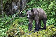 Canada, Khutzeymateen Grizzly Bear Sanctuary, Female grizzly bear - FOF005366