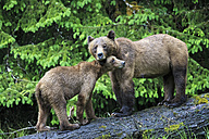 Canada, Khutzeymateen Grizzly Bear Sanctuary, Female grizzly bear with offspring - FOF005362