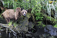 Canada, Khutzeymateen Grizzly Bear Sanctuary, Female grizzly bear - FOF005361