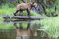 Canada, Khutzeymateen Grizzly Bear Sanctuary, Female grizzly bear - FOF005359
