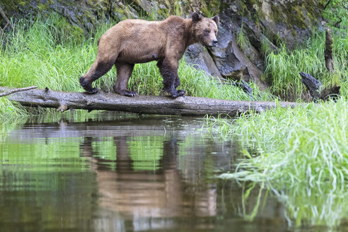 Canada, Khutzeymateen Grizzly Bear Sanctuary, Female grizzly bear - FOF005359
